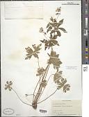 view Geranium maculatum L. digital asset number 1