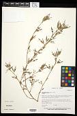 view Stylosanthes humilis Kunth digital asset number 1