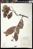 view Chaetocarpus coriaceus Thwaites digital asset number 1