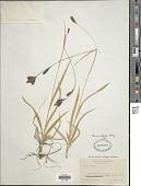 view Carex ablata L.H. Bailey digital asset number 1