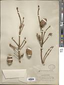 view Picea engelmannii Parry ex Engelm. digital asset number 1