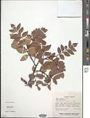 view Rhus virens subsp. choriophylla digital asset number 1