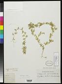view Selaginella semicordata Spring digital asset number 1