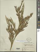 view Phyllostachys reticulata (Rupr.) K. Koch digital asset number 1