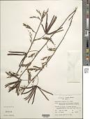 view Desmanthus pernambucanus (L.) Thell. digital asset number 1