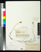 view Campanula rotundifolia L. digital asset number 1