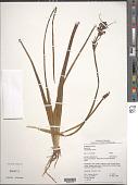 view Sagittaria rhombifolia Cham. digital asset number 1
