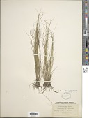 view Carex howei Mack. digital asset number 1
