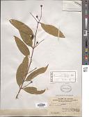 view Cinnamomum liangii C.K. Allen digital asset number 1