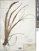 view Morelotia gahniiformis Gaudich. digital asset number 1