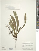 view Campyloneurum aphanophlebium (Kunze) T. Moore digital asset number 1