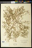 view Euphorbia vermiculata Raf. digital asset number 1