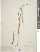view Carex halophila digital asset number 1