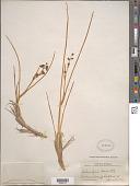 view Scheuchzeria palustris L. digital asset number 1