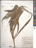view Pandanus unguiculatus Ridl. digital asset number 1
