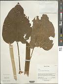 view Cardiocrinum giganteum (Wall.) Makino digital asset number 1