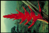 view Heliconia bella digital asset number 1