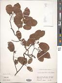 view Actinidia arguta (Siebold & Zucc.) Planch. ex Miq. digital asset number 1
