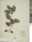 view Strobilanthes alternata (Burm. f.) Moylan ex J.R.I. Wood digital asset number 1
