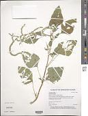 view Amaranthus viridis L. digital asset number 1