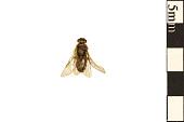 view Sand Pine Sawfly, Conifer Sawfly digital asset number 1