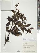 view Salvia rufula subsp. latens (Benth.) J.R.I. Wood & Harley digital asset number 1