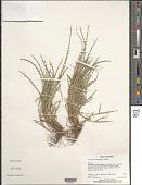 view Hainardia cylindrica (Willd.) Greuter digital asset number 1