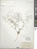 view Eriogonum spergulinum A. Gray var. spergulinum digital asset number 1