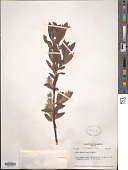 view Salix maccalliana Rowlee digital asset number 1