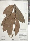 view Heteropterys leona (Cav.) Exell digital asset number 1