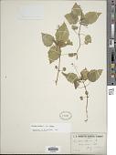view Circaea alpina subsp. alpina L. digital asset number 1