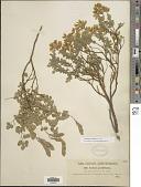 view Cytisophyllum sessilifolium Láng digital asset number 1