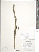 view Gurania sinuata (Benth.) Cogn. digital asset number 1