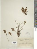 view Cheilanthes arequipensis (Maxon) R.M. Tryon digital asset number 1