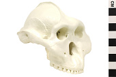 view OH 5, Fossil Hominid digital asset number 1