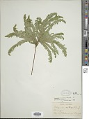 view Selaginella umbrosa Lem. ex Hieron. digital asset number 1