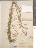 view Aristida divaricata Humb. & Bonpl. ex Willd. digital asset number 1