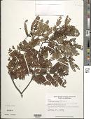 view Macrolobium gracile Spruce ex Benth. var. gracile digital asset number 1