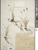 view Carex bonariensis Desf. ex Poir. digital asset number 1