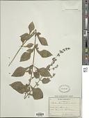 view Plectranthus inflexus (Thunb.) Vahl ex Benth. digital asset number 1