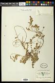 view Euphorbia cozumelensis Millsp. digital asset number 1