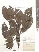 view Inga leiocalycina Benth. digital asset number 1