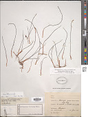 view Syringodium filiforme Kütz. digital asset number 1