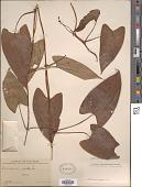 view Dioscorea alata L. digital asset number 1