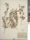 view Coronopus didymus (L.) Sm. digital asset number 1