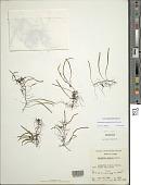 view Adenophorus tenellus (Kaulf.) Ranker digital asset number 1