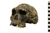view KNM-ER 1813, Early Human digital asset number 1