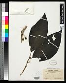 view Henriettea brunnescens Standl. digital asset number 1