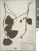view Rhynchosia luteola K. Schum. digital asset number 1