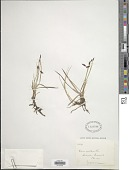 view Carex rariflora (Wahlenb.) Sm. digital asset number 1